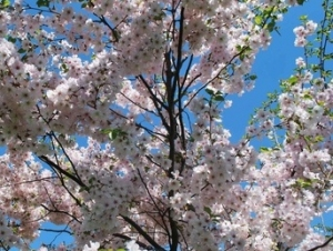 Buffalo State Community Involved in the First Buffalo Cherry Blossom Festival
