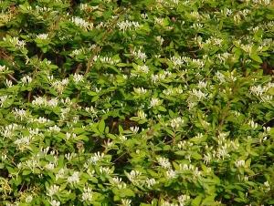 Invasive Species Awareness Week: What's Wrong with Honeysuckle?